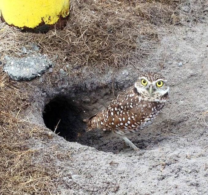 burrowing owl den