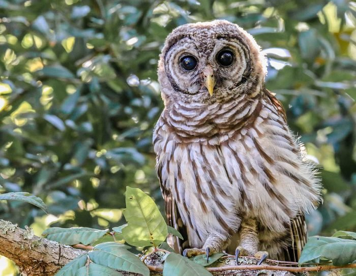 owl fledgling