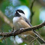 How to Identify and Attract a Carolina Chickadee