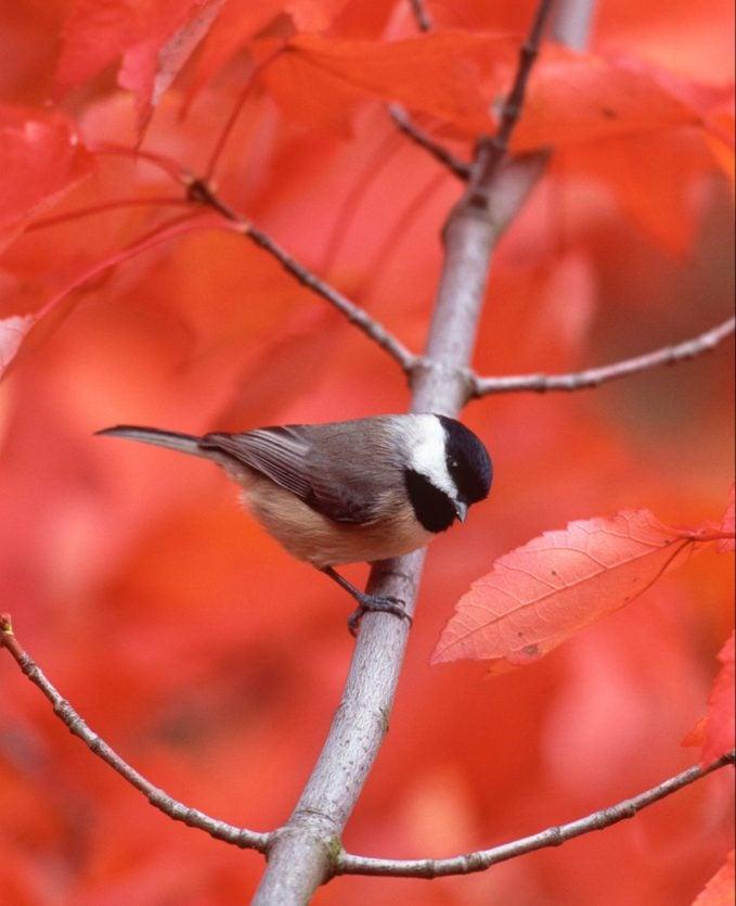 Carolina chickadee in maple tree