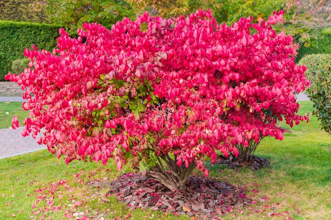 Shrubs of the Euonymus alatus with autumn leaves in park