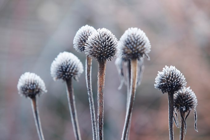 Frost covered seed heads of Echinacea purpurea.