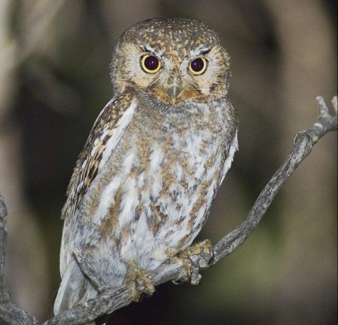 Elf Owl, types of owls