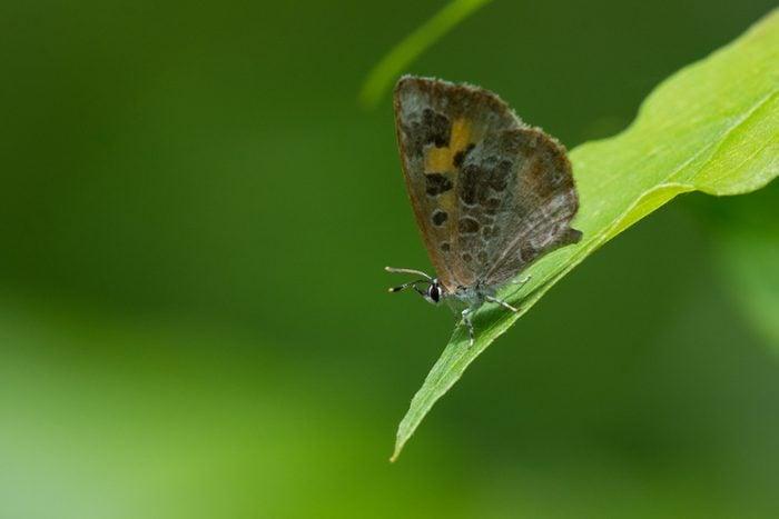 Harvester Butterfly, kinds of butterflies