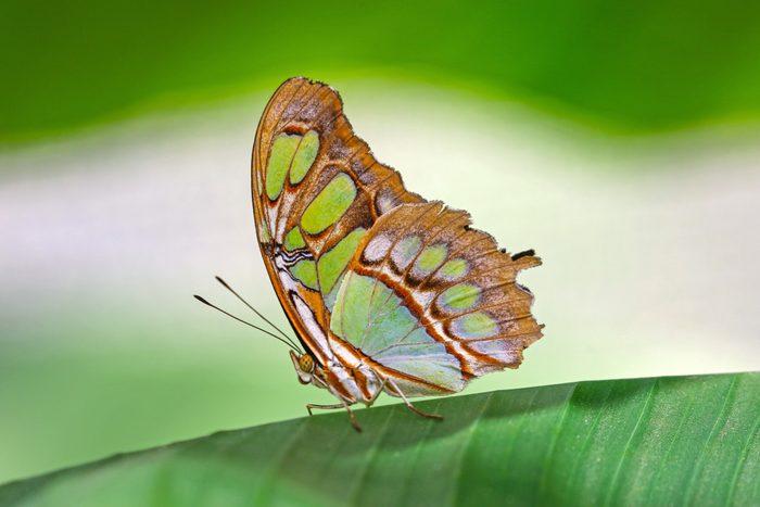 Malachite Butterfly, kinds of butterflies