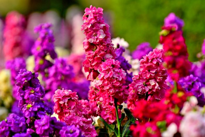 fall container plants, Matthiola Incana / Stock Flowers