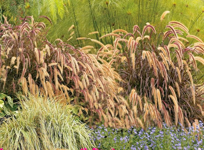 fall container plants, graceful Grasses purple fountain grass