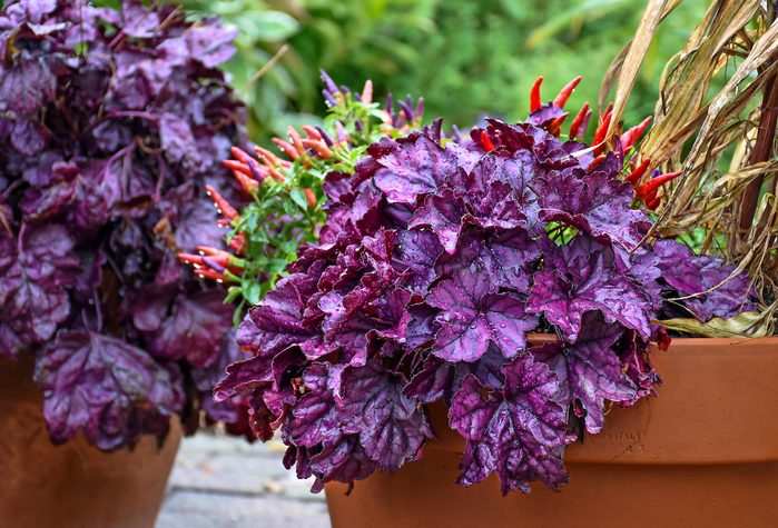 fall container plants, Dolce Wildberry coral bells