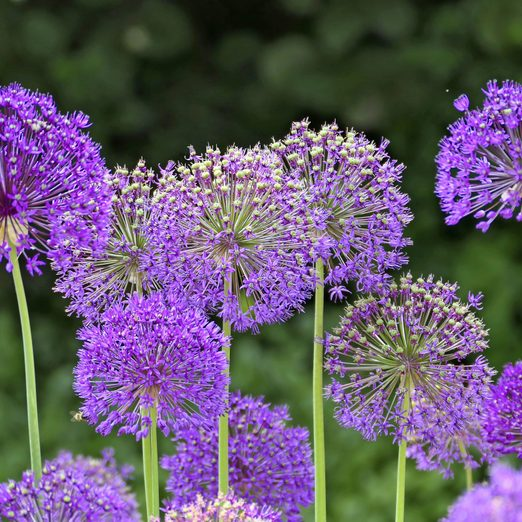 A grouping of purple Giant allium flowers in a plot.