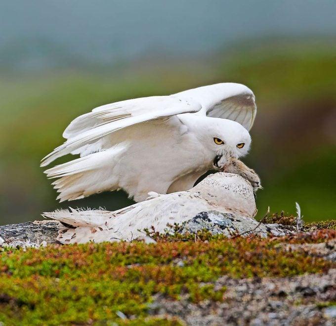 Snowy Owl (bubo Scandiaca) Male Bringing Lemming Prey To Nesting Female, Utsjoki Finland July