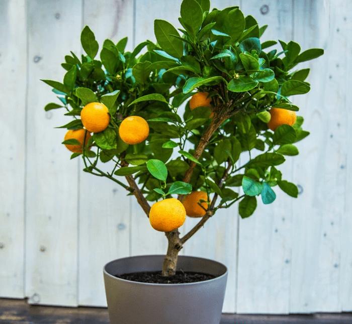 Dwarf Clementine Tree
