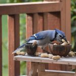 The Best Blue Jay Bird Feeders for Peanuts